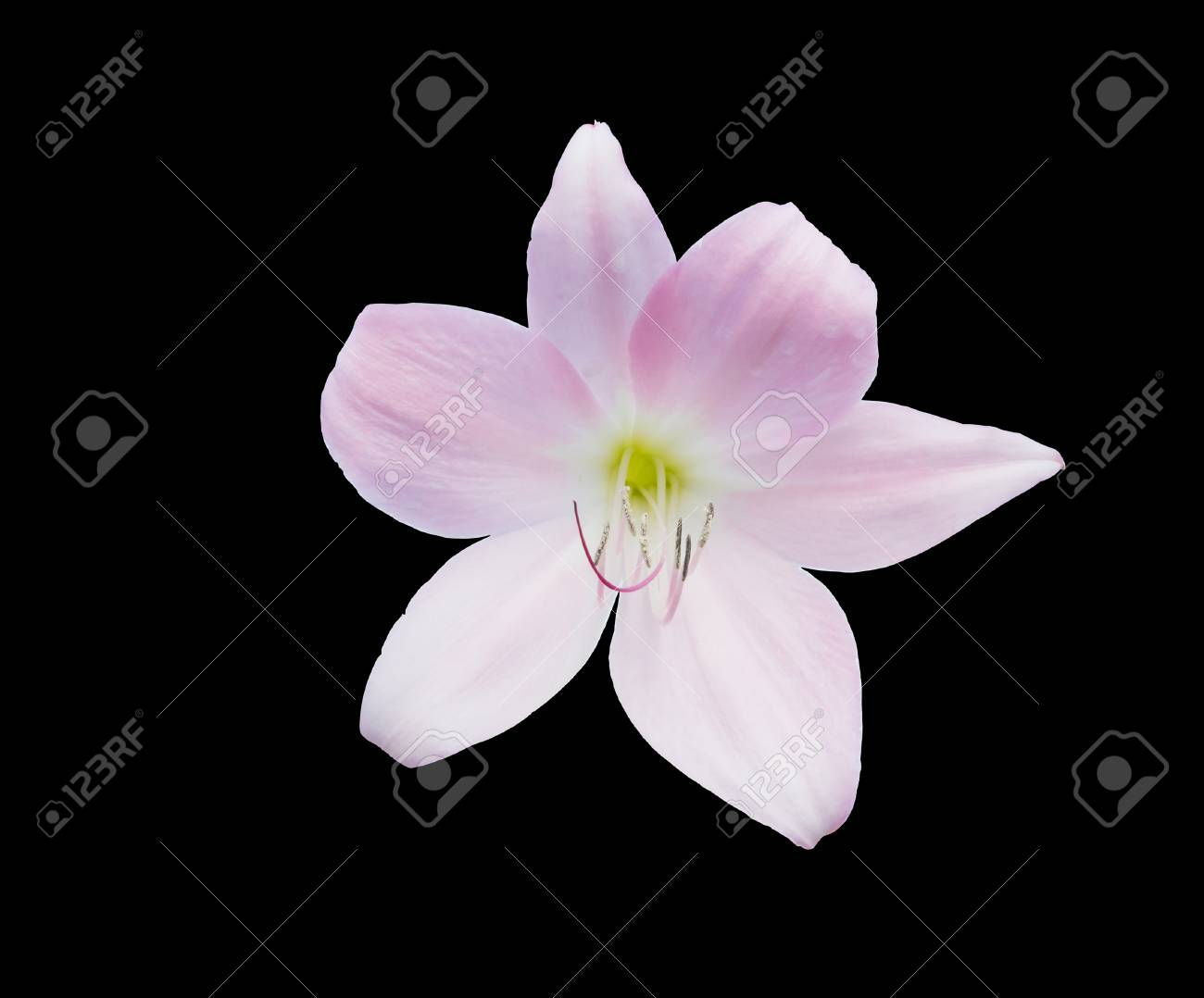 Pink lily flower closeup isolated on black stock photo picture and pink lily flower closeup isolated on black stock photo 37329935 izmirmasajfo