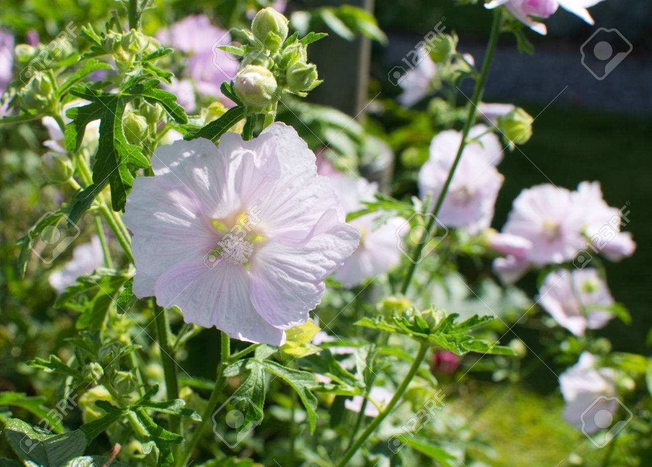 Pink Rosemallow Flowers Blossoming In Bright Sunshine In Sweden