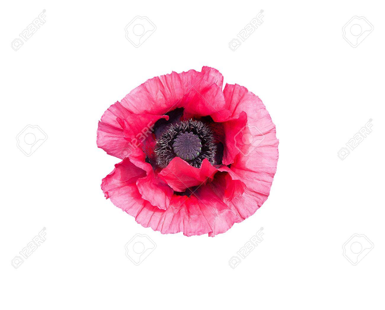 Pink poppy flower papaver orientale with black pistils closeup pink poppy flower papaver orientale with black pistils closeup isolated on white stock photo mightylinksfo