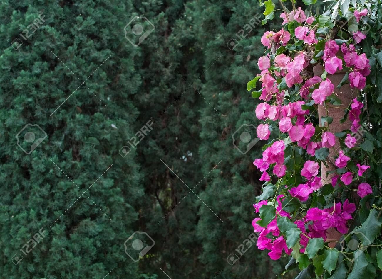 bougainvillier rose avec espace de copie de la végétation verte