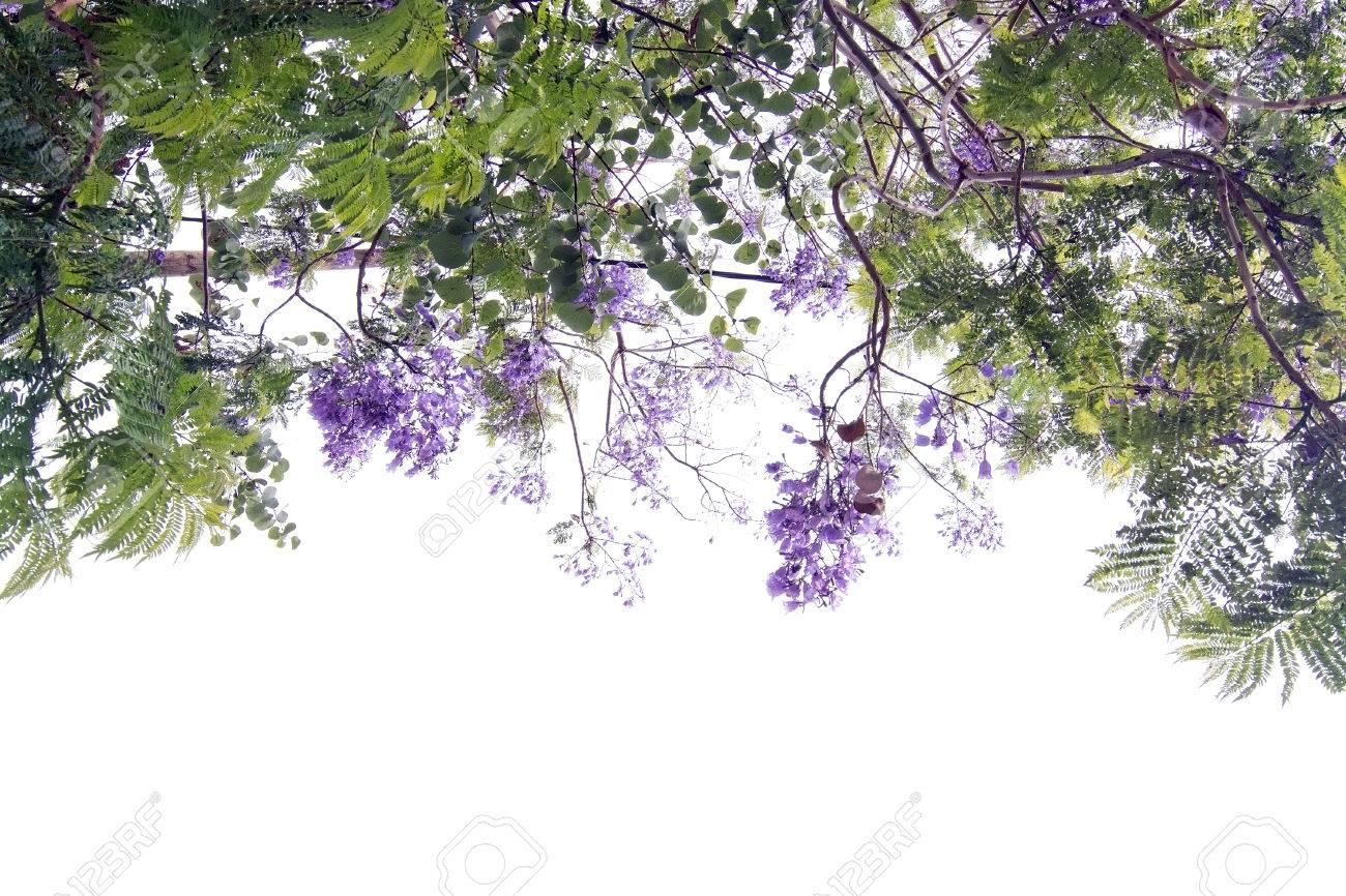 l'arbre de jacaranda fleurit avec des fleurs bleu violet contre le