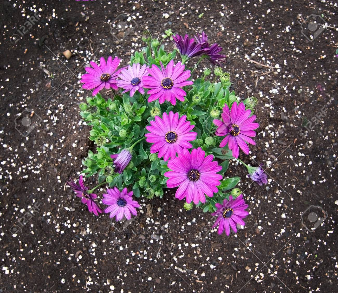 Pink Purple Spring Flowers Asteraceae In Flowerbed Mallorca Stock