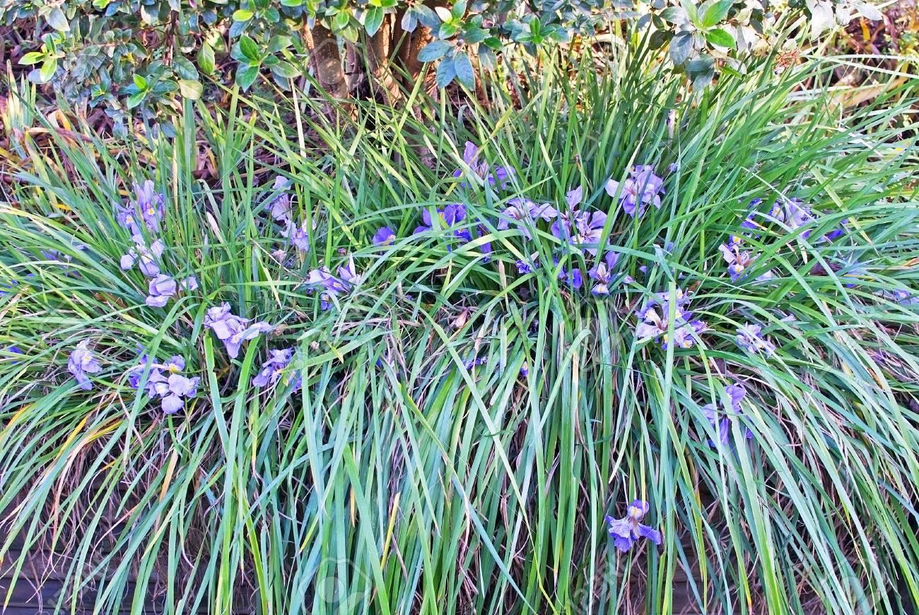 Blue Iris en Mallorca jardín Islas Baleares, España en enero