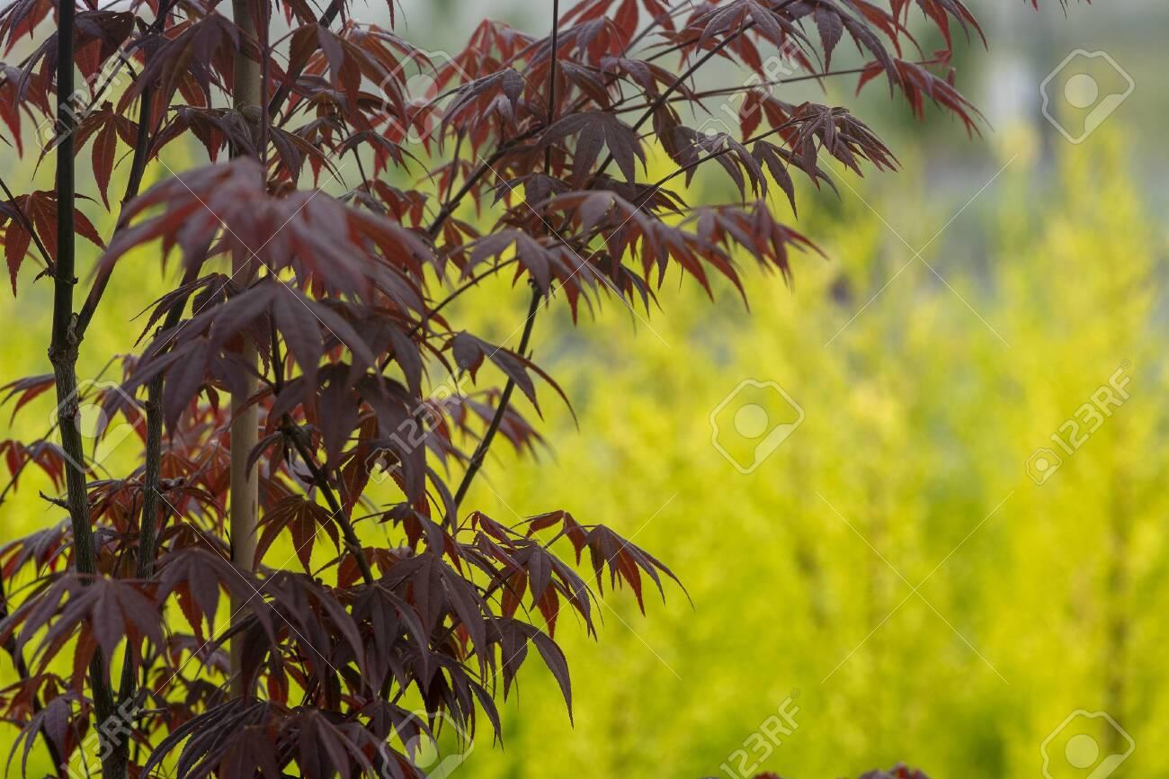 Elegant Japanese zen style bamboo tree background dark red leaves against bright green background - 121476486