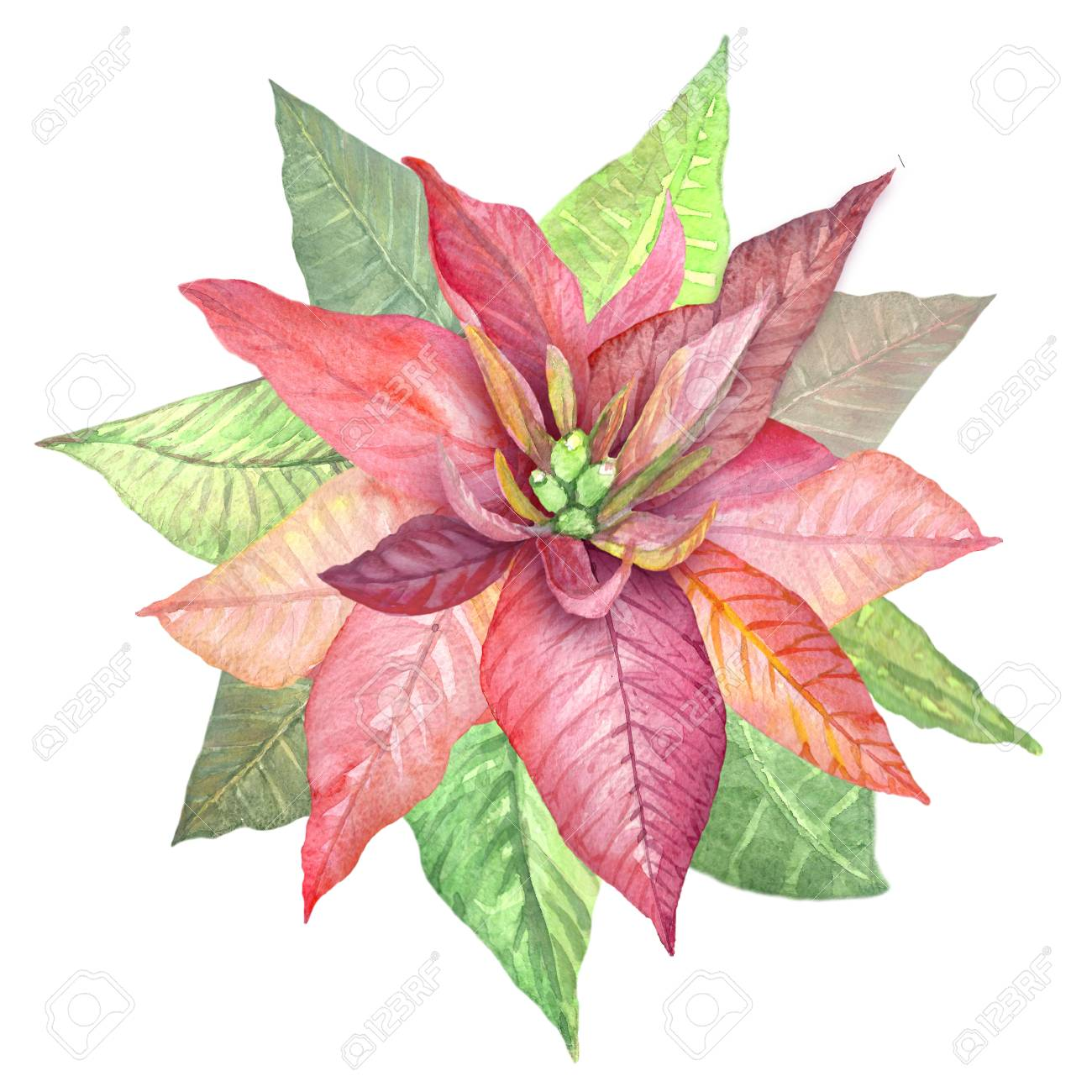 Watercolor Flowers Poinsettia Illustration Of Botanical Plants Stock Photo Picture And Royalty Free Image Image 93886987