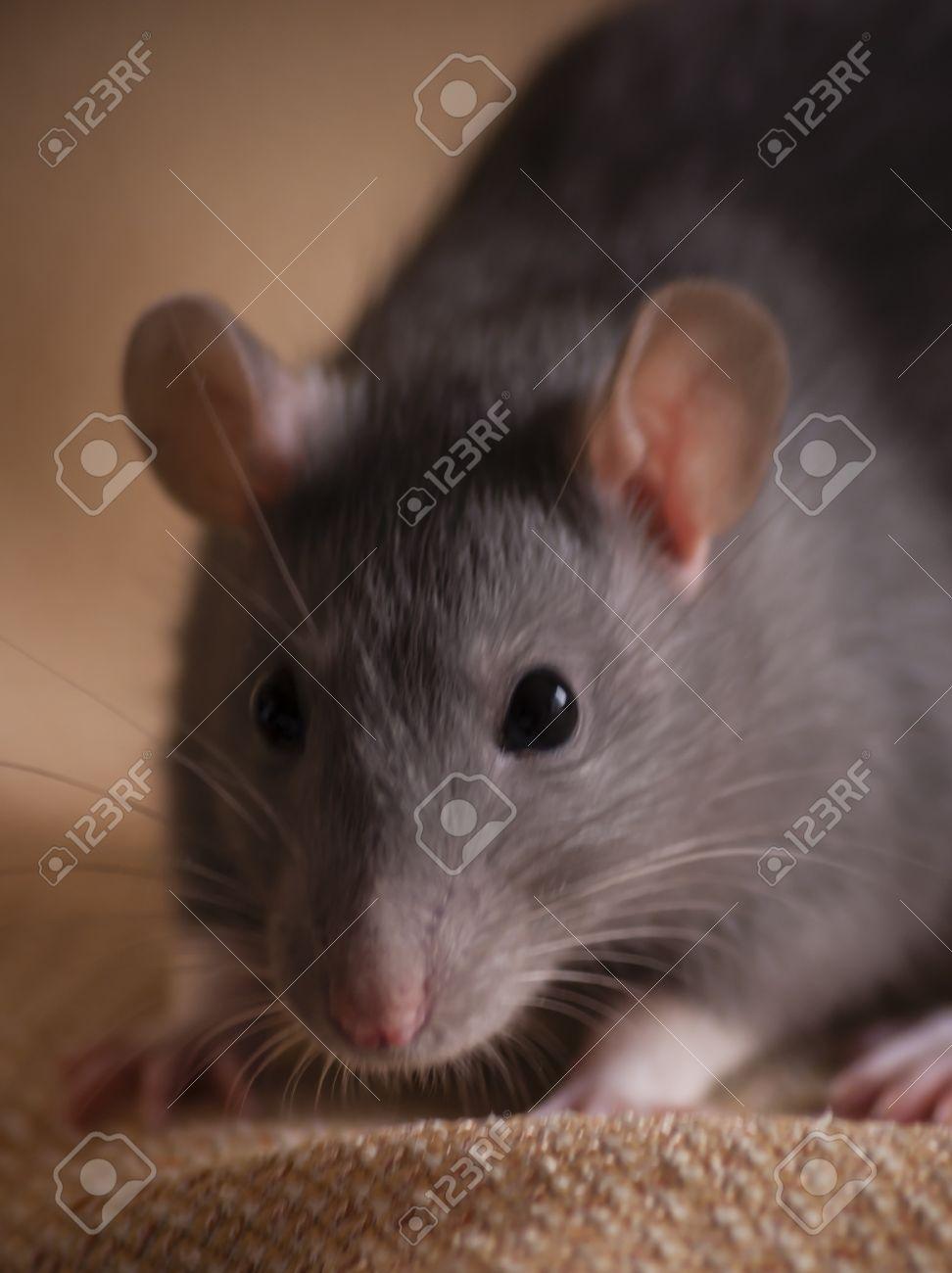 cute blue gray pet rat portrait Stock Photo - 18700479