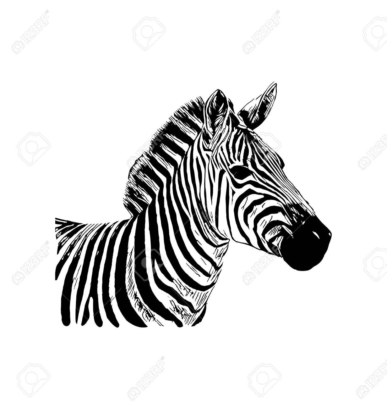 Zebra vector graphic illustration on white background - 124460652