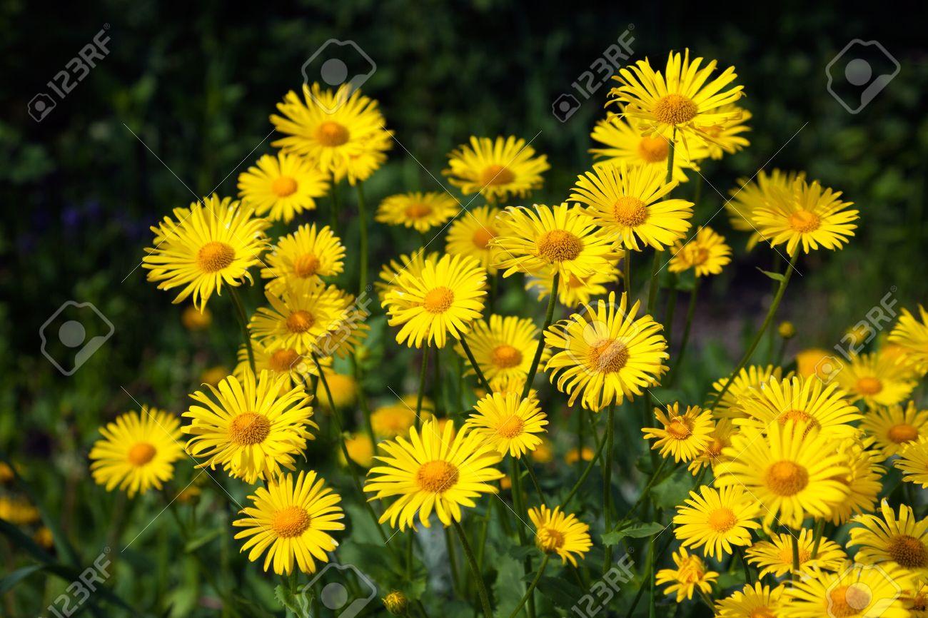 Doronicum Yellow Flowers In The Garden In Spring Stock Photo