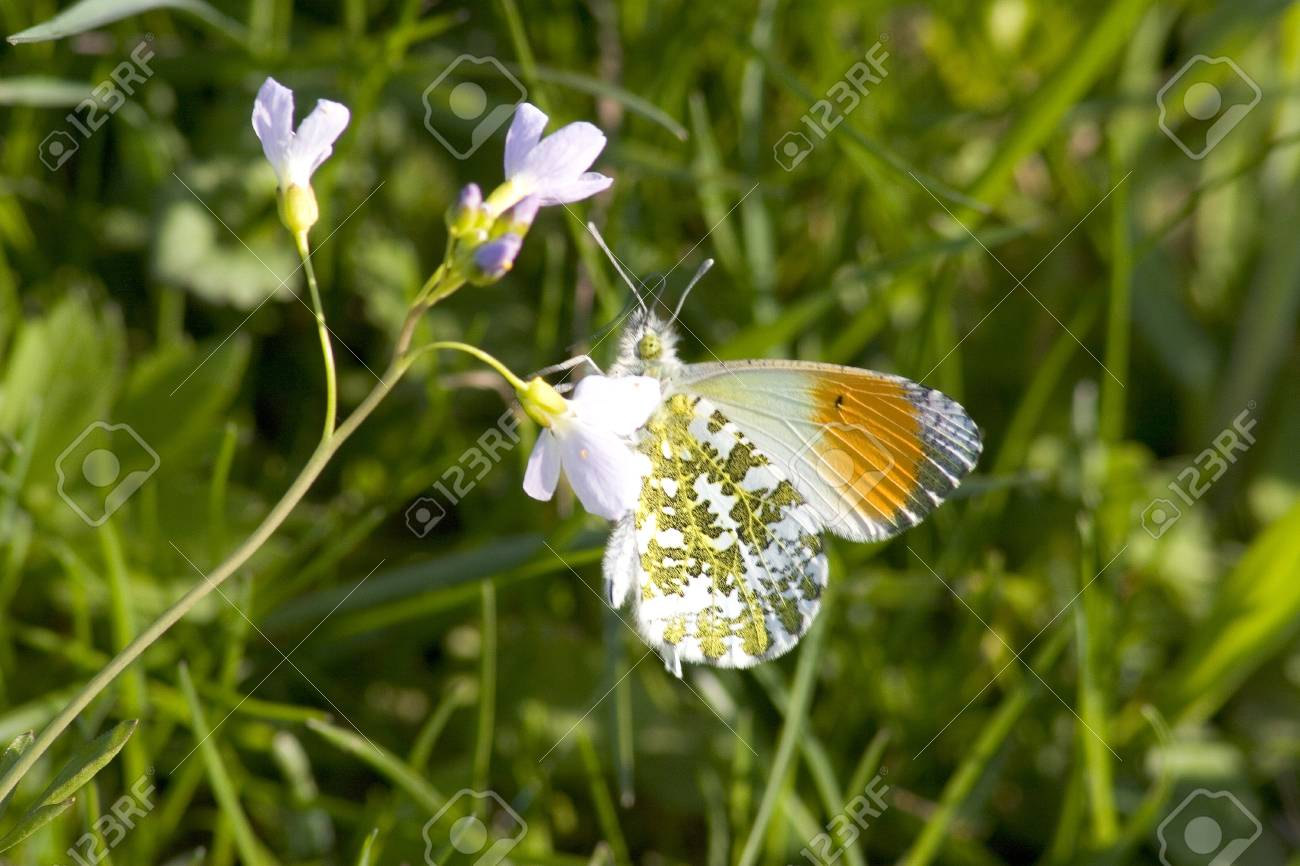 Orange Tip on a spring meadow Stock Photo - 9476535