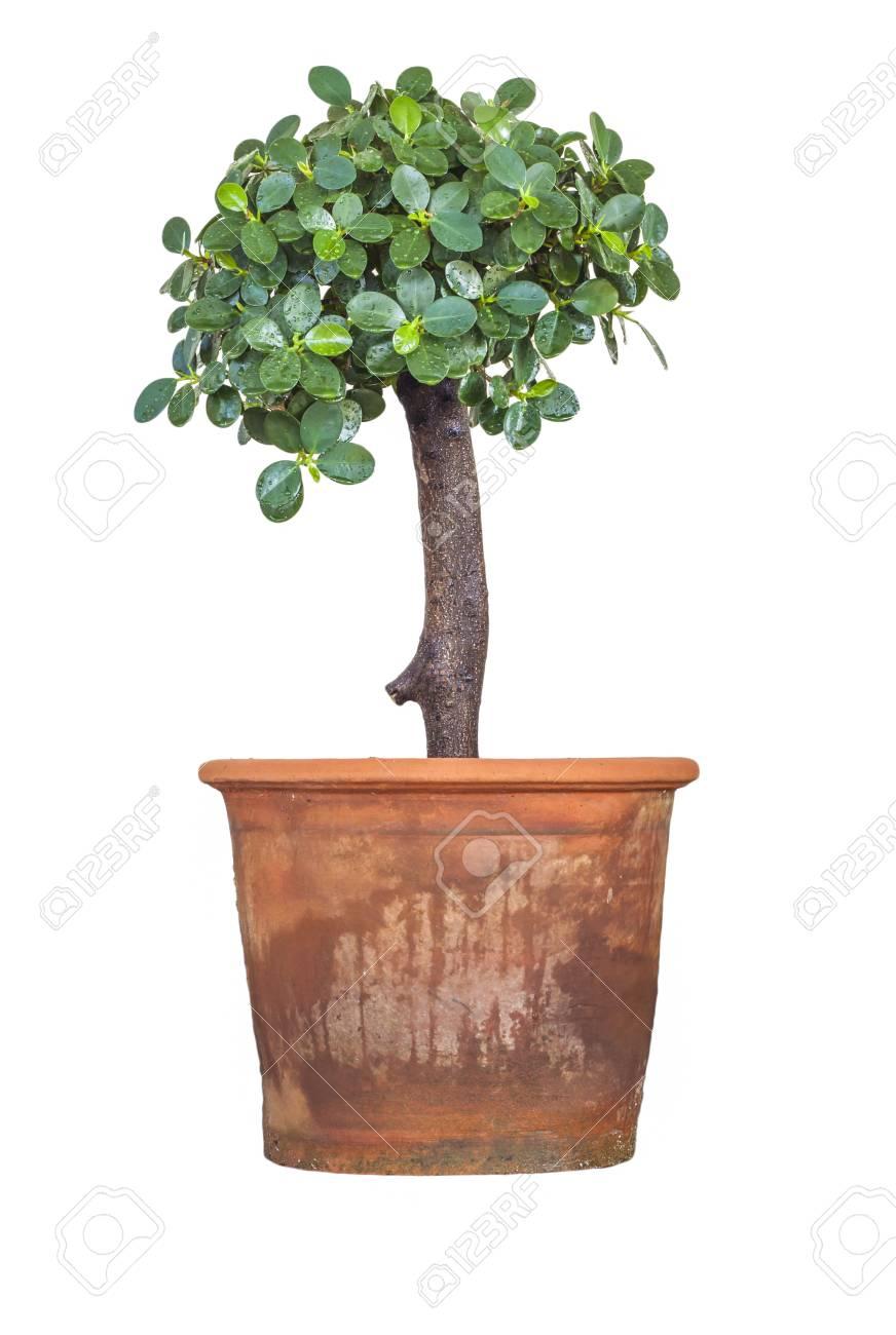 Boom In Pot.Boom Pot Geisoleerd Op Een Witte Achtergrond Banyan Tree
