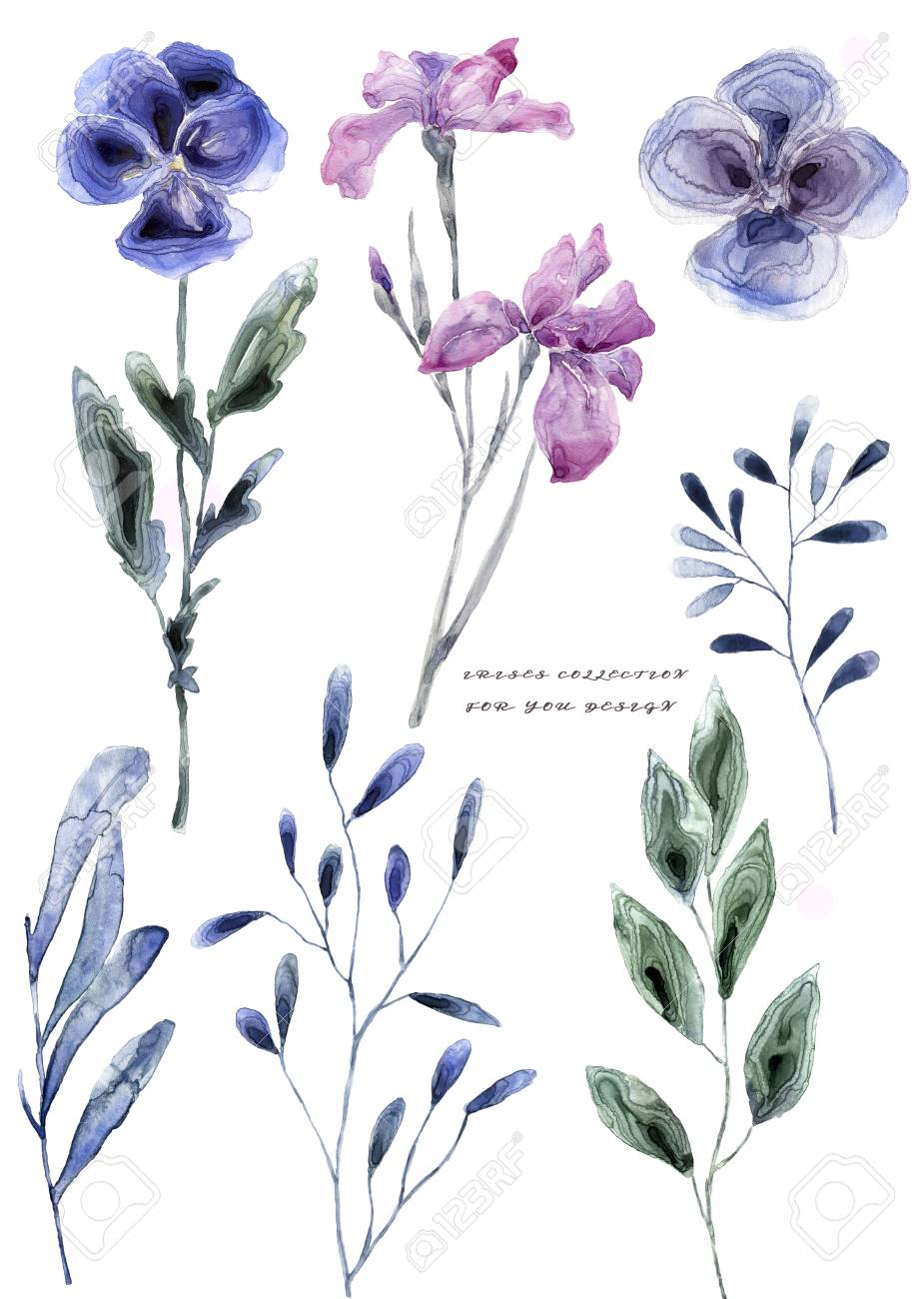 Watercolor Illustration With Iris Painting Freash Flowers On