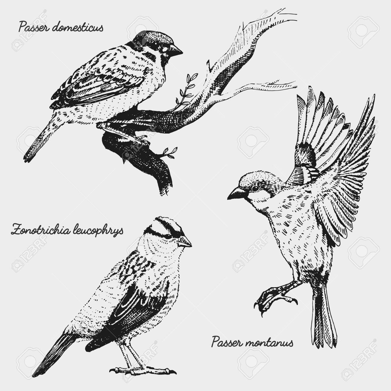 手の描かれたベクター現実的な鳥スケッチ グラフィック スタイル白戴冠