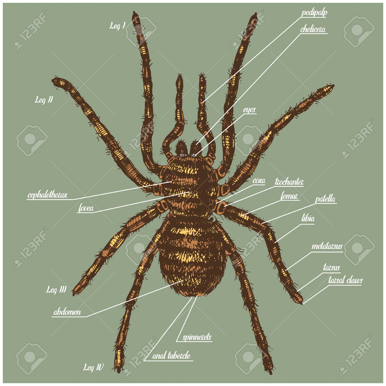 Illustration Of A Spider Anatomy Include All Name Of Animal Parts ...
