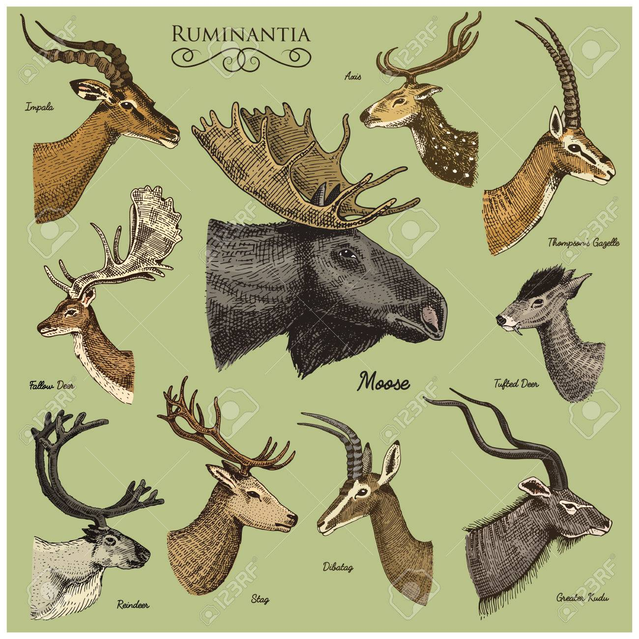 Big Set Of Horn Antlers Animals Moose Or Elk With Impala Gazelle