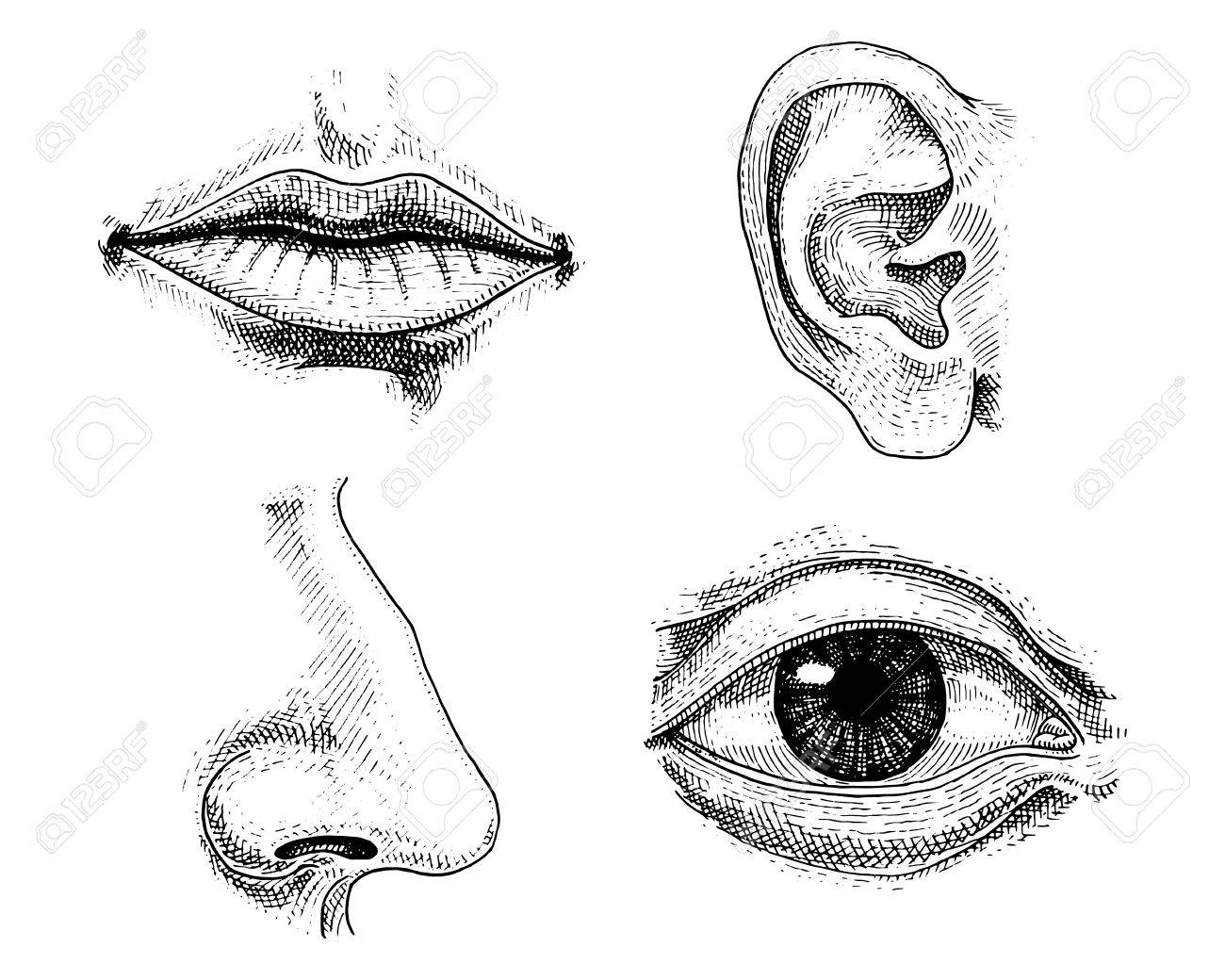 Human Biology, Organs Anatomy Illustration. Engraved Hand Drawn ...