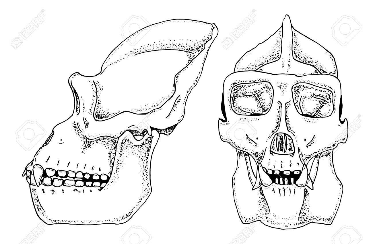 Gorilla Biology, Anatomy Illustration. Engraved Hand Drawn In ...