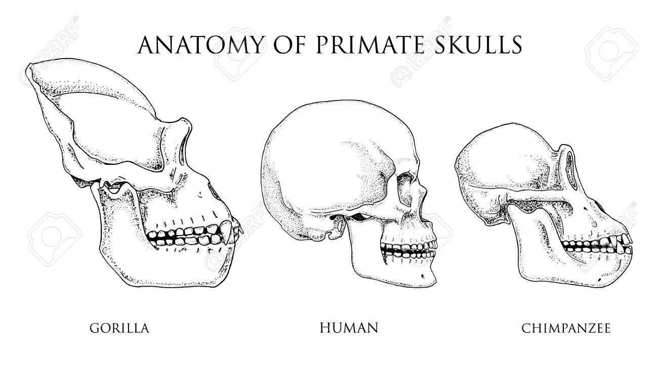 Humanos Y Chimpancés, Gorila. Ilustración De Biología Y Anatomía ...
