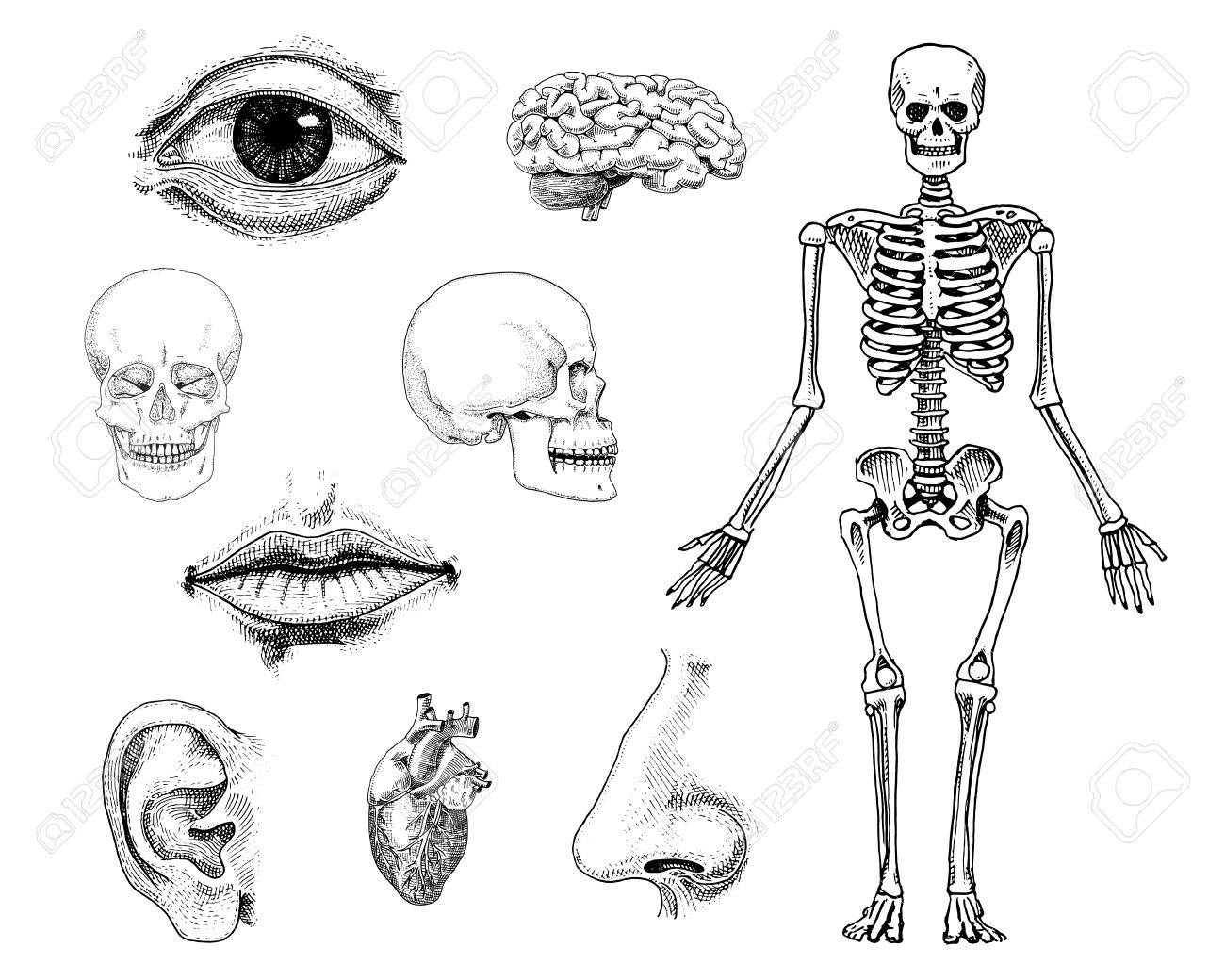 Biología Humana, Ilustración De La Anatomía. Mano Grabada En Boceto ...