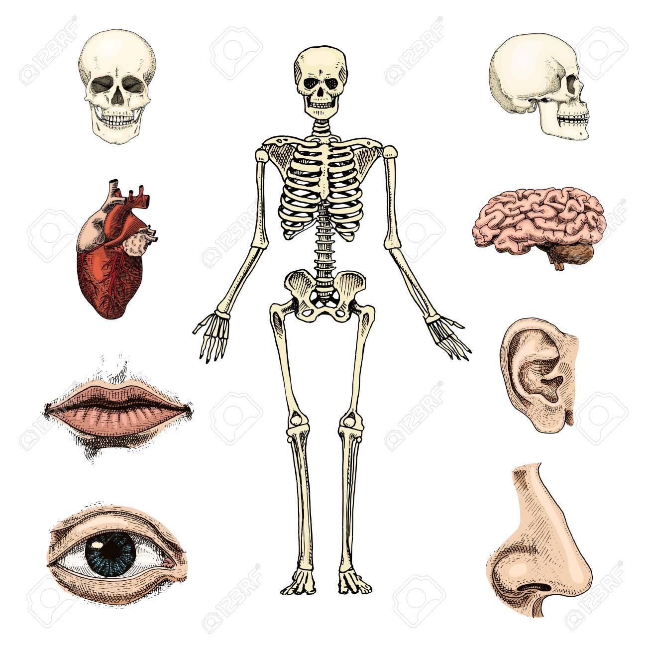 Human Biology, Anatomy Illustration. Skull, Skeleton, Lips, Ear ...