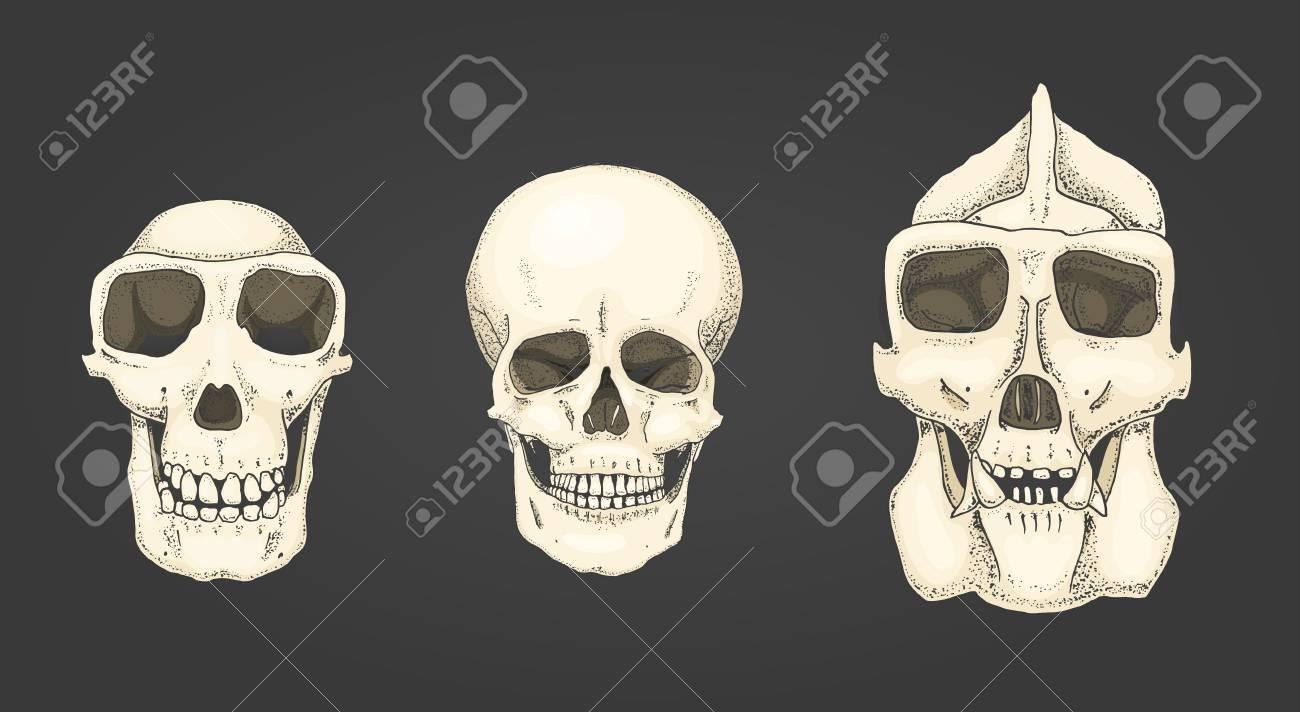 Humano Y Chimpancé, Gorila. Biología Y Anatomía Ilustración. Mano ...