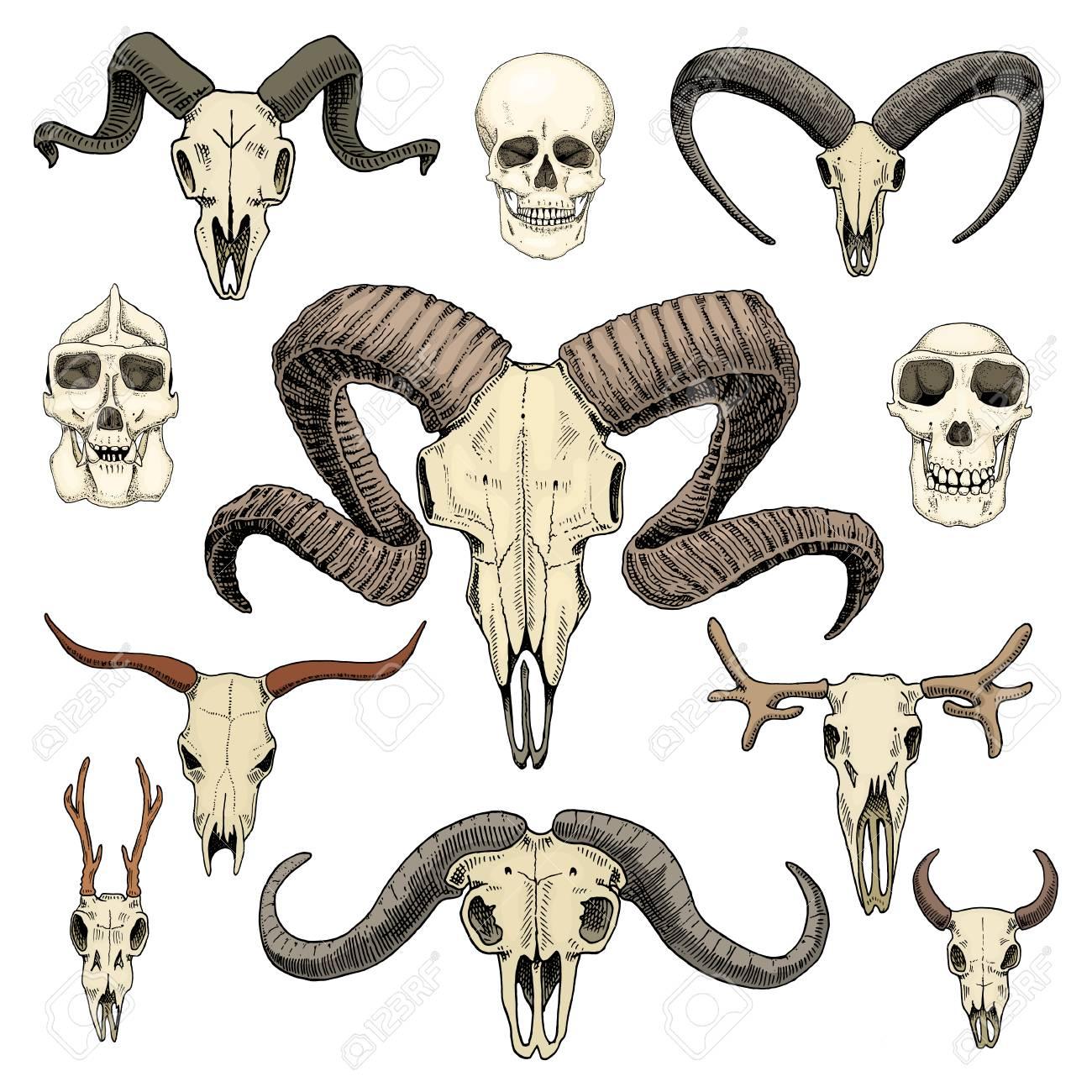 古いスケッチとビンテージ スタイルの動物の頭蓋骨のイラスト手書き頭蓋骨セットまたはスケルトン。