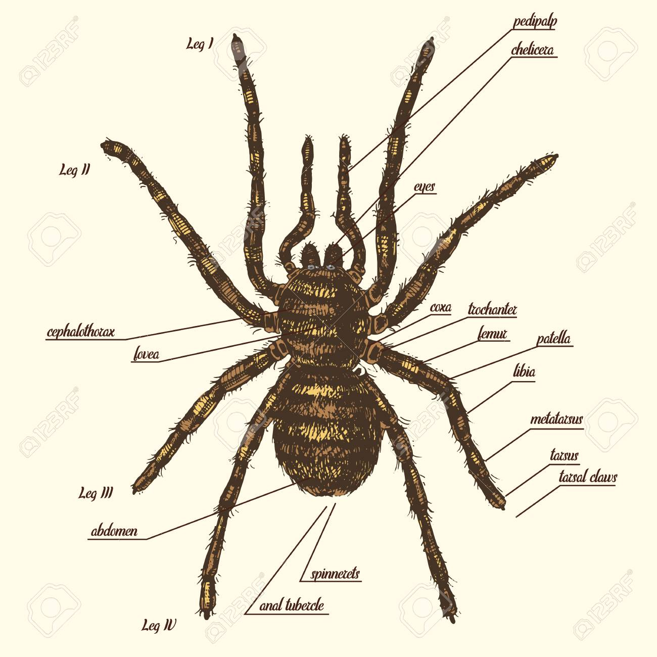Illustration Einer Spinnenanatomie Schließen Den Ganzen Namen Von ...