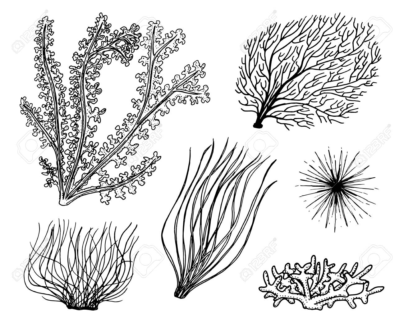 Marine Plants Seaweed Vegetable Life And Food For Fish Engraved Royalty Free Cliparts Vectors And Stock Illustration Image 91977226