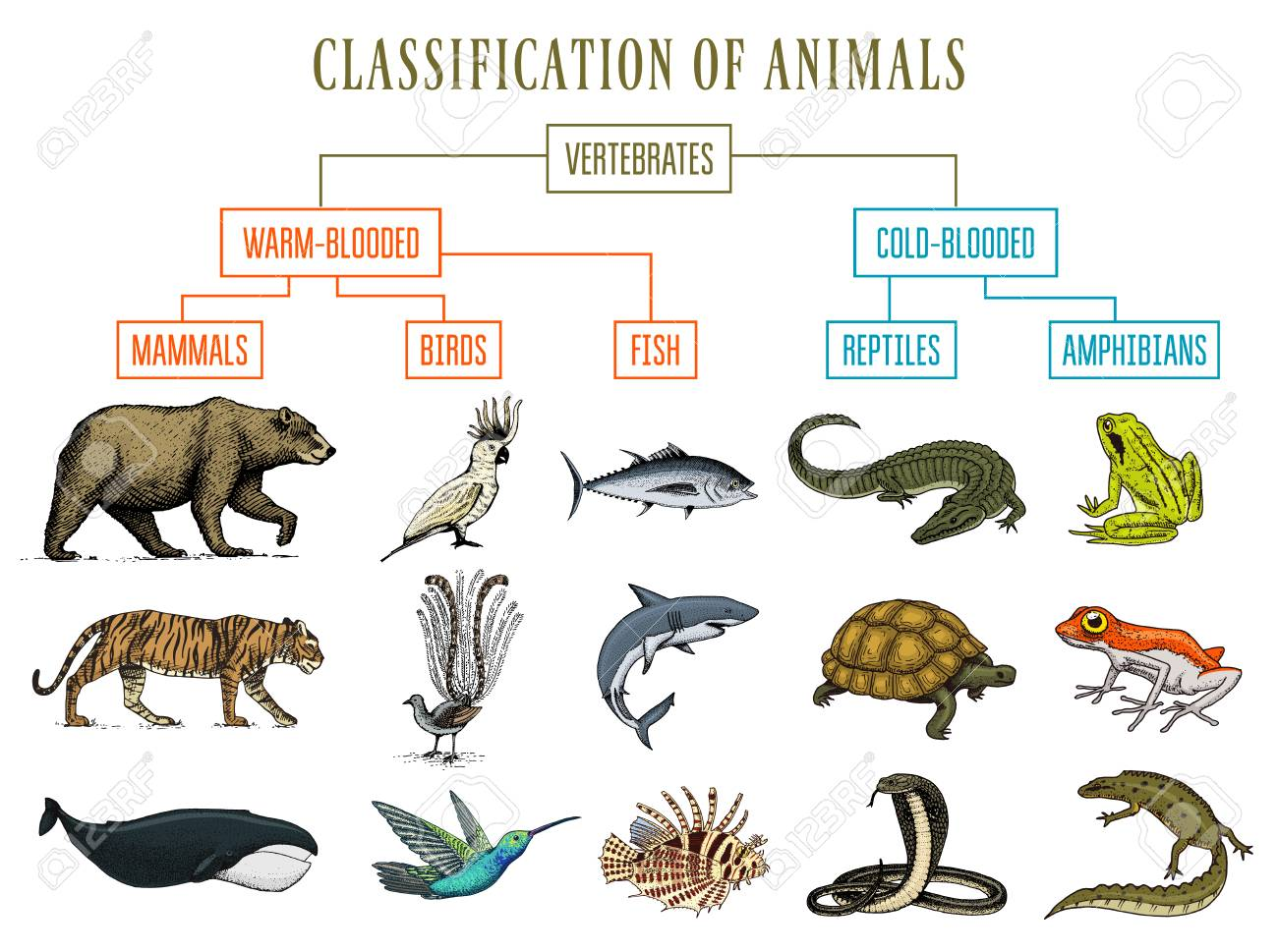 Classification of Animals. Reptiles amphibians mammals birds. Crocodile Fish Bear Tiger Whale Snake Frog. Education diagram of biology. Engraved hand drawn old vintage sketch. Chart of Wild creatures. - 101582767