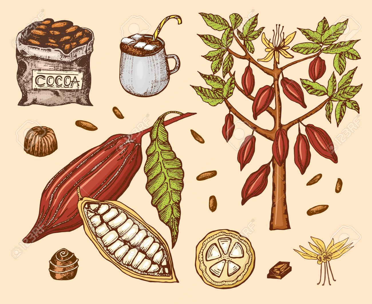 Cocoa Beans And Hot Chocolate Natural Organic Product Seeds Royalty Free Cliparts Vectors And Stock Illustration Image 103356293