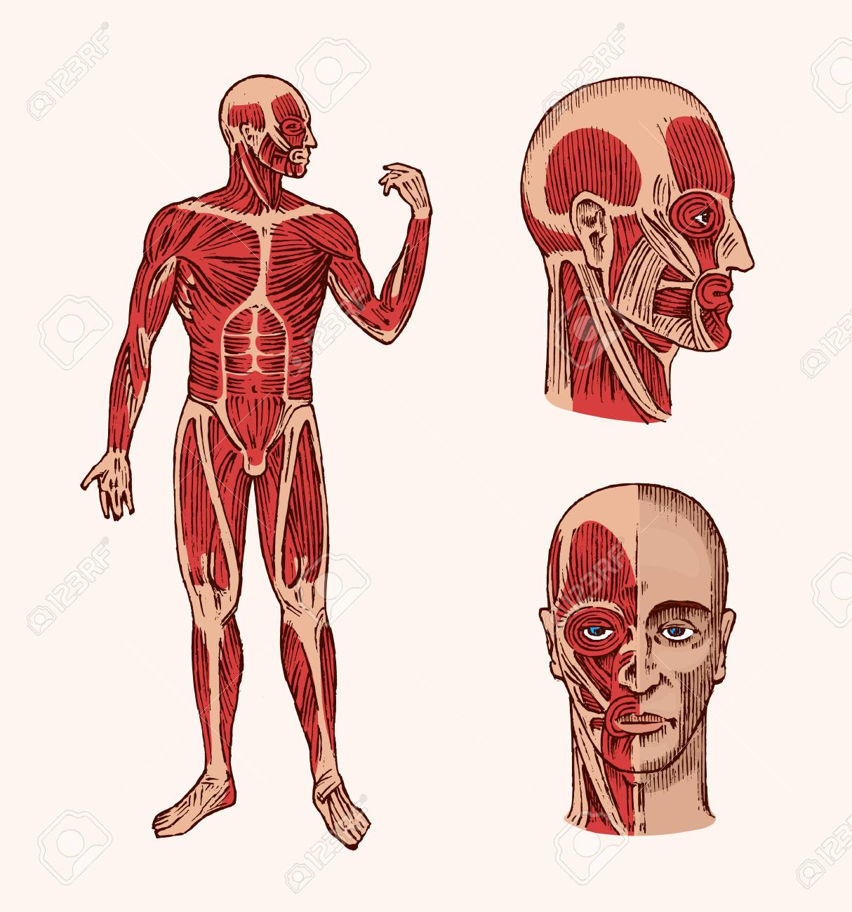 Human Anatomy Muscular And Bone System Of The Head Medical