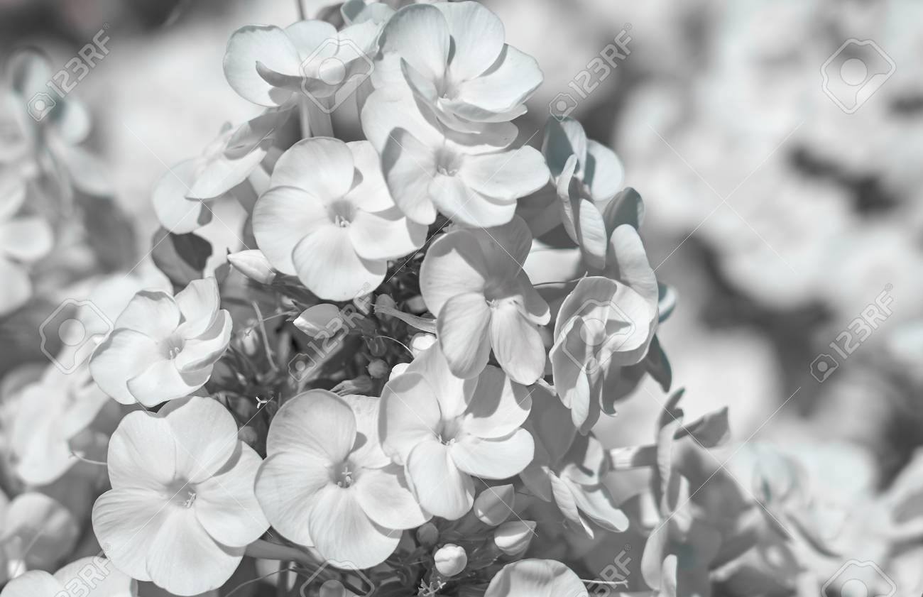White flowers with blurred background in black and white stock stock photo white flowers with blurred background in black and white mightylinksfo