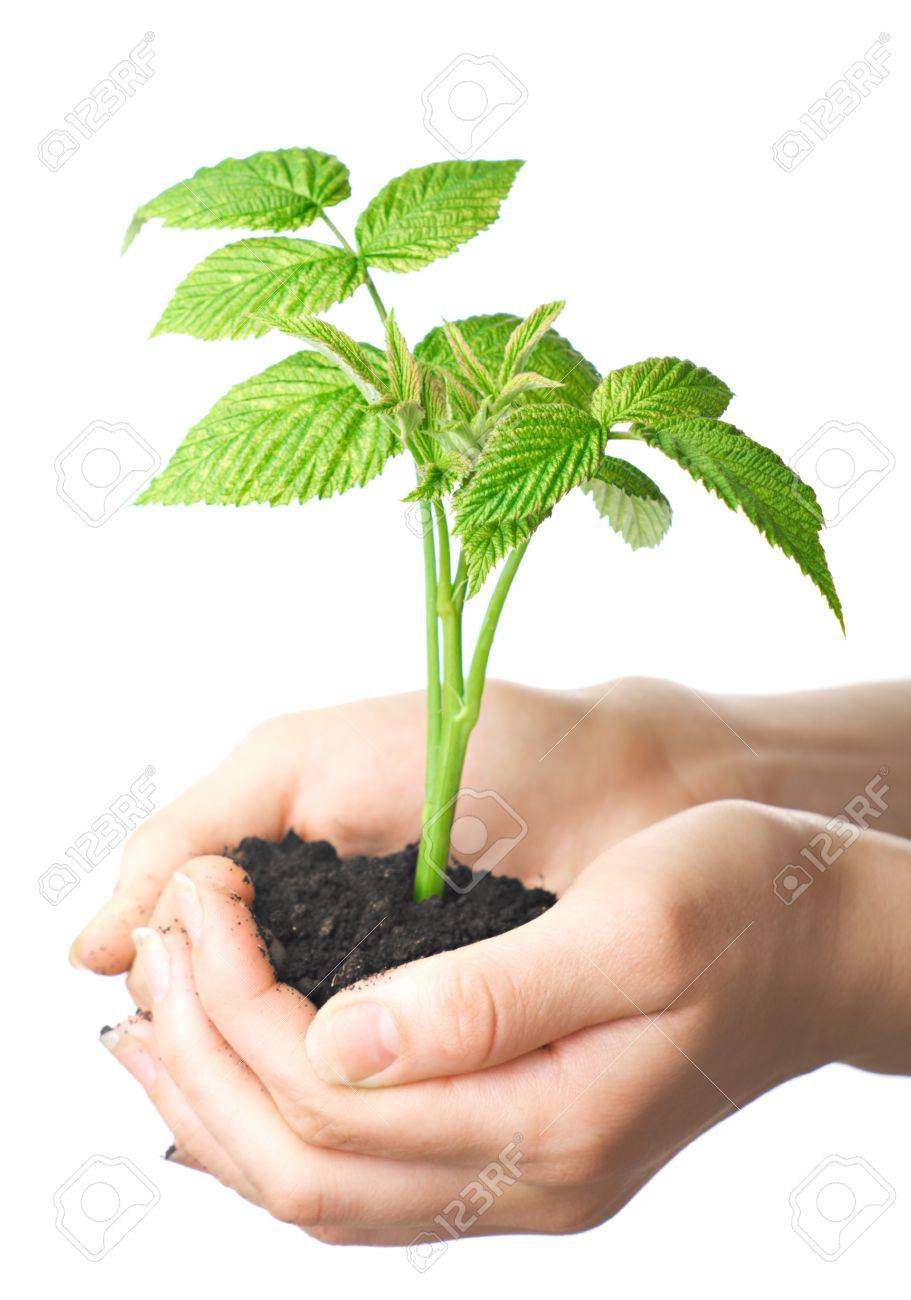 young plant in hands of man. Isolation on white background. Stock Photo - 7098871