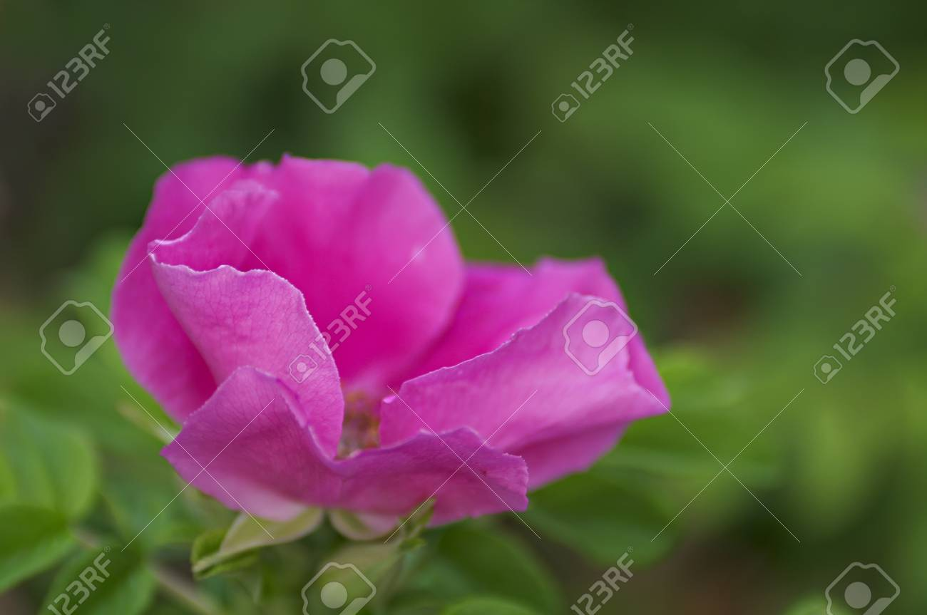 Fleur Rose Sauvage Pendant La Floraison De L Ete Dof Peu Profond