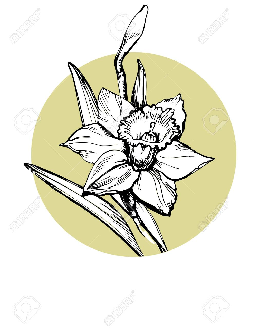 Vector isolated element for design with hand drawn flower Daffodil, Narcissus on circle form background. Can be used as floral design of textile print, postcard, greeting card, cover, botanical page. - 131604301