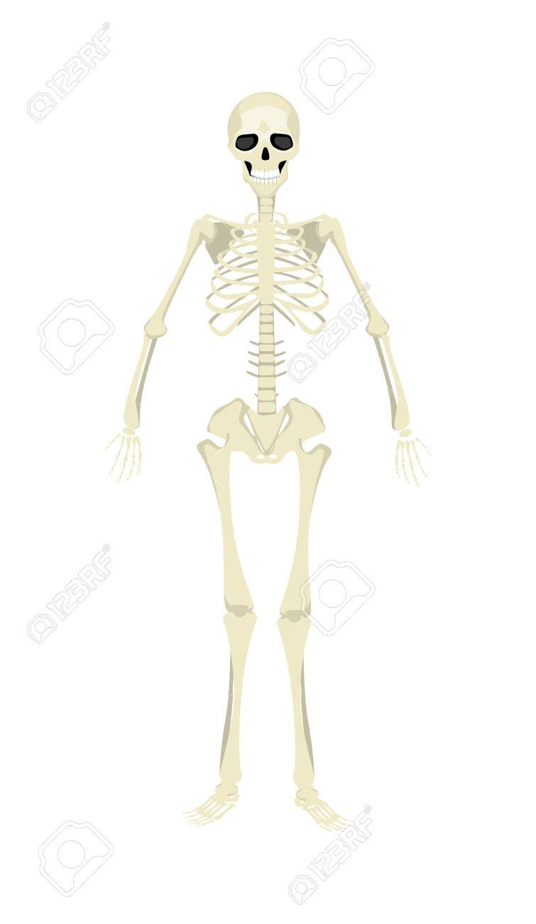 Isolated Human Skeleton All Human Bones As Rib Skull And Spine