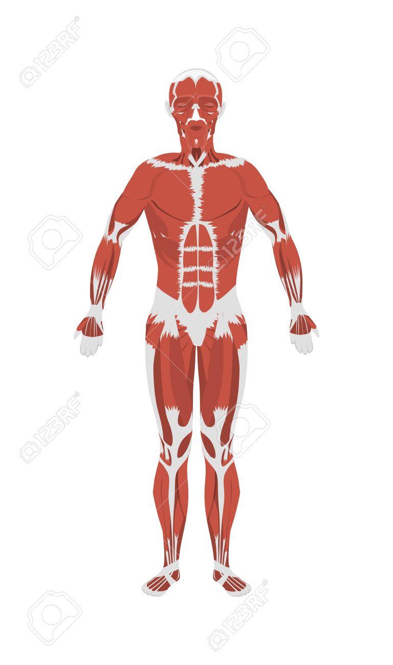 Músculos humanos anatomía. los músculos del cuerpo masculino. Todos los tipos de músculos como extensor, psoas y vasto.