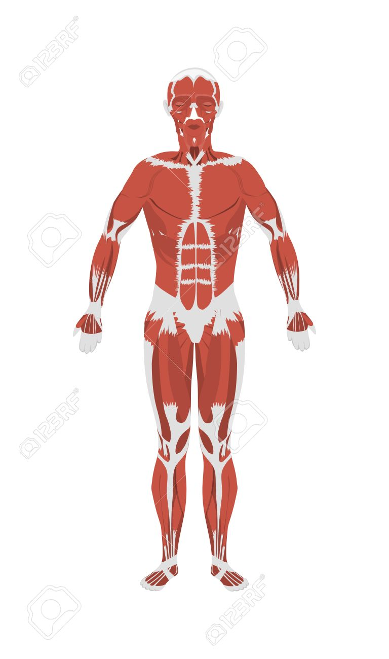 Menschlichen Muskeln Anatomie. Männliche Körpermuskulatur. Alle ...