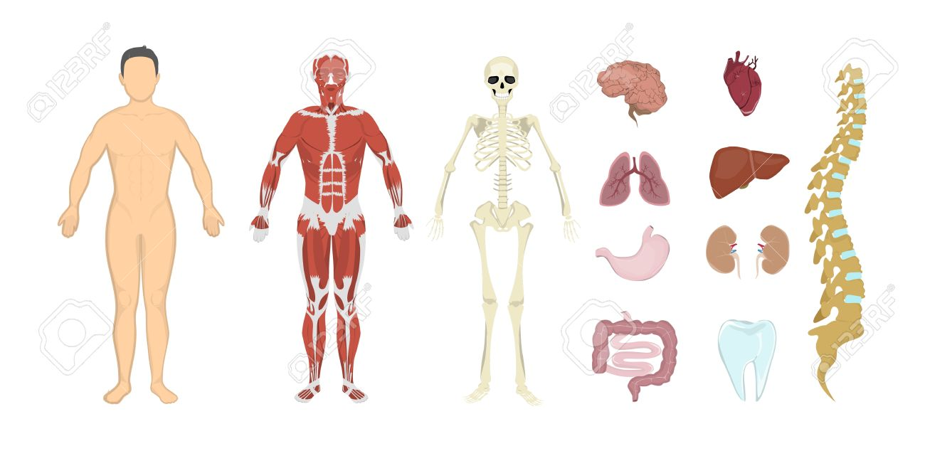 Whole Human Anatomy. All Human Body Systems As Skeleton, Skin ...