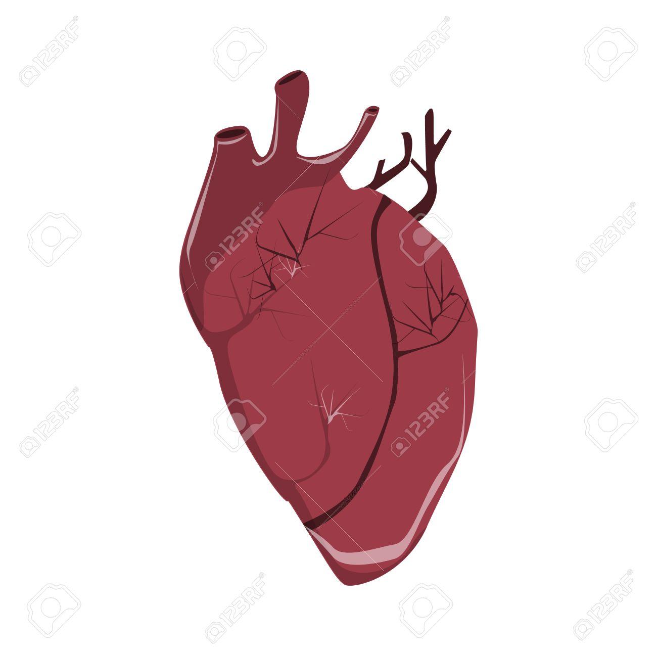 Aislado Corazón Humano Realista Sobre Fondo Blanco. Anatomía Humana ...