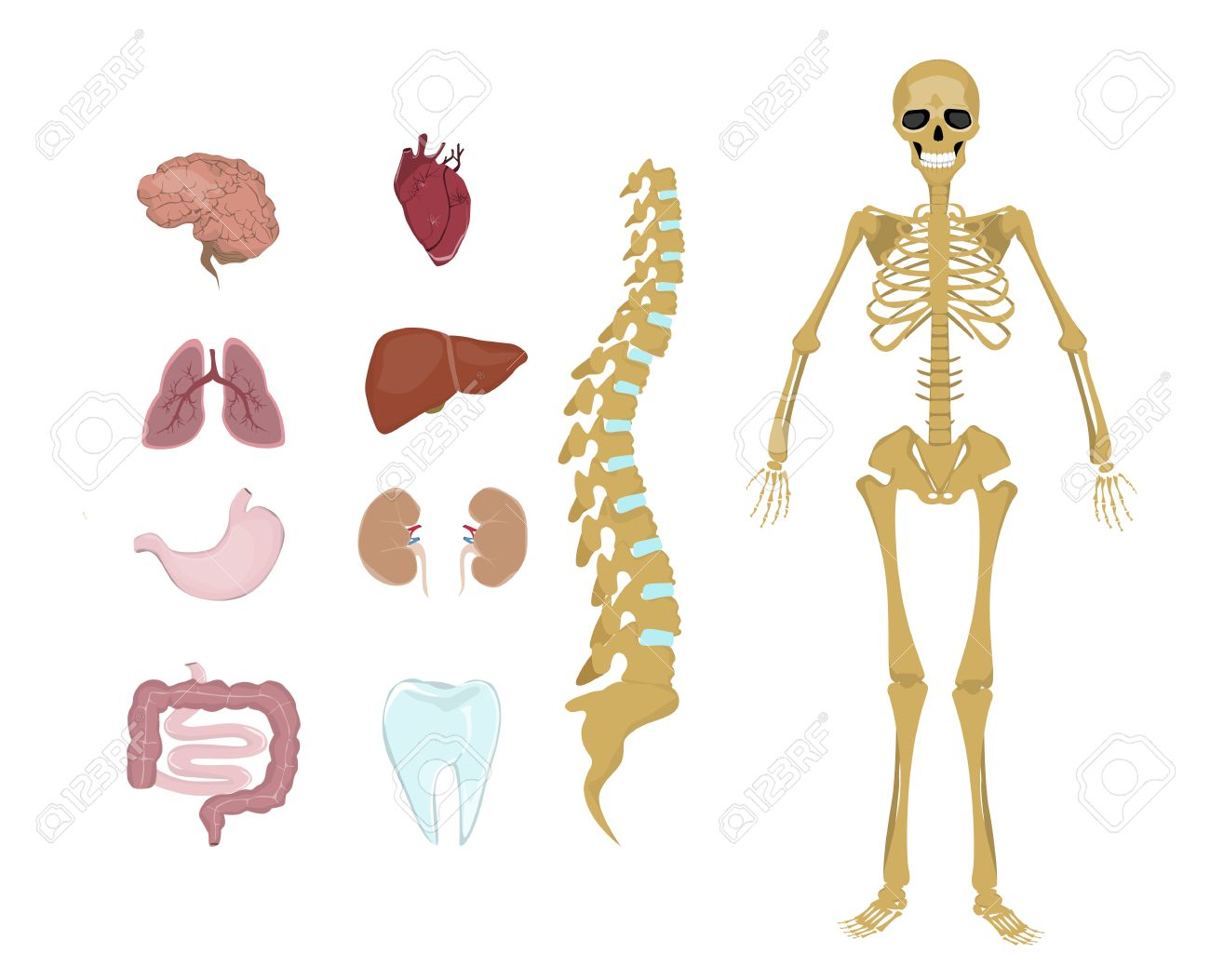 Whole Human Anatomy All Human Body Systems As Skeleton Organs