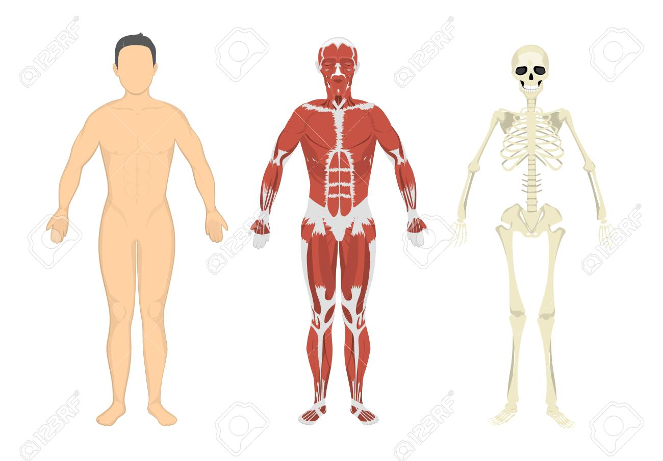 Human Body Muscles And Skeleton Human Anatomy Set Royalty Free