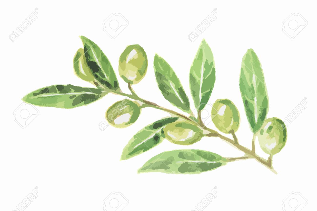 Watercolor Green Olive On White Background. Tasty Gourmet Food ...