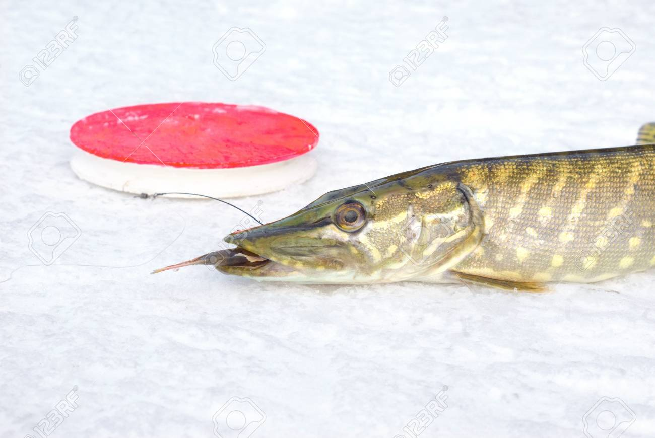 pike on the ice with fish in jaws Stock Photo - 9429393