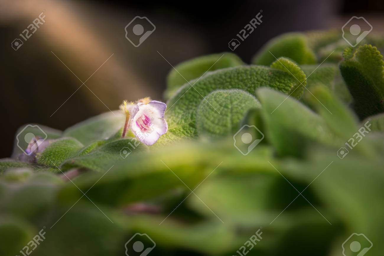 Close up blooming small white and purple flower of thick green close up blooming small white and purple flower of thick green leaves with white hair mightylinksfo