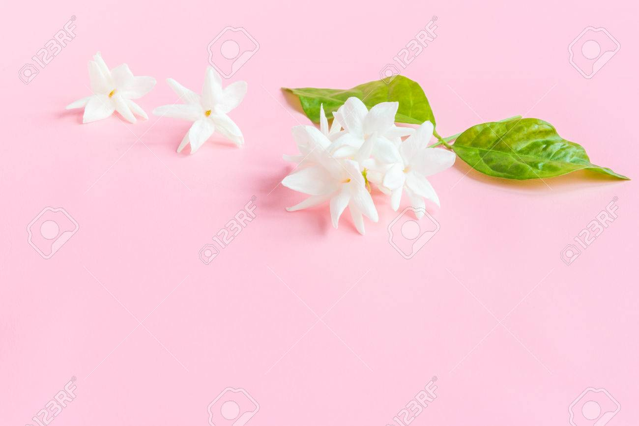 White jasmine flowers with green leaves on beautiful pink background stock photo white jasmine flowers with green leaves on beautiful pink background with copy space for text insertion sweet cute concept for valentines day izmirmasajfo