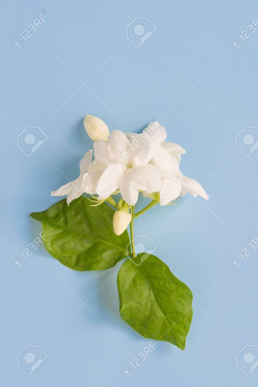 Real Fresh Soft Jasmine Flowers With Green Leaves On Beautiful Stock Photo Picture And Royalty Free Image Image 85724941