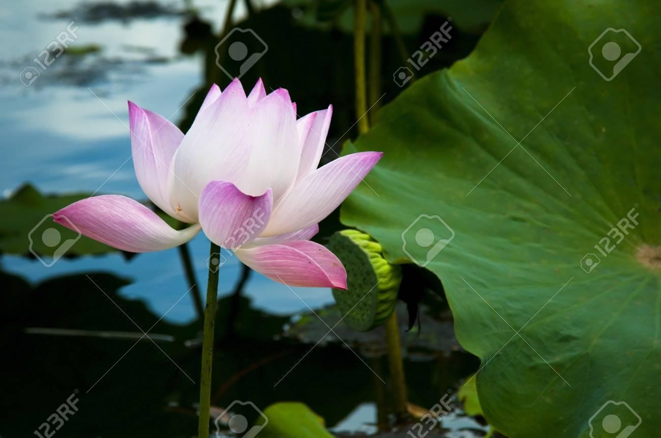 lotus Stock Photo - 13156922