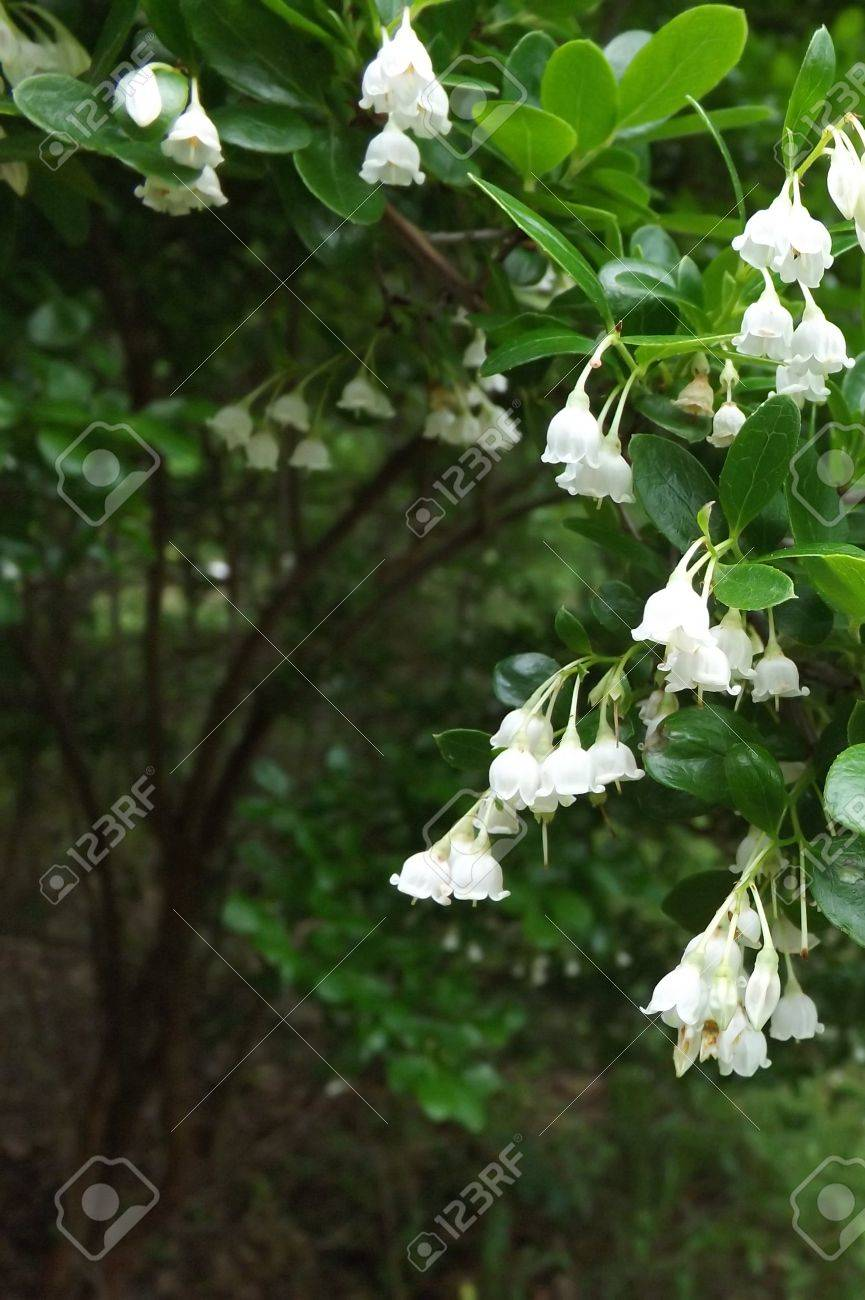 White Bell Shaped Flowers Stock Photo Picture And Royalty Free