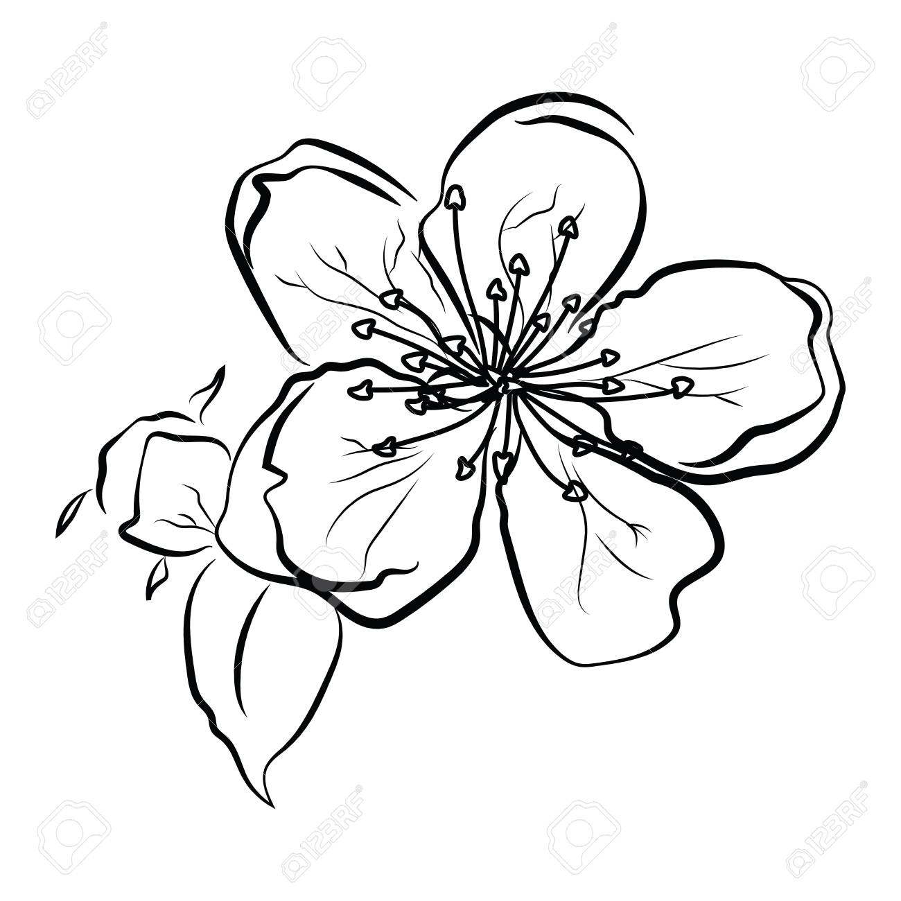 d48c6d684 Blooming cherry. Sakura branch with flower buds. Black and white drawing of  a blossoming