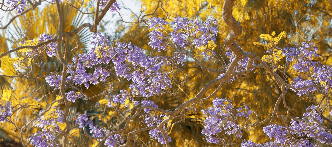 Beautiful Deep Purple Coloured Jacaranda Tree In Bloom In Brisbane